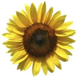 Sunflower Xero Case Study